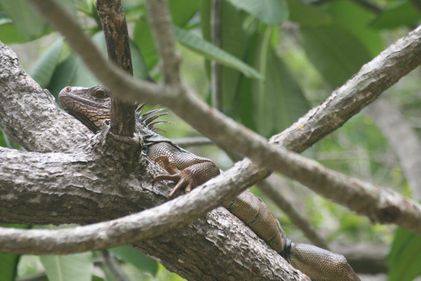 Iguana on the Rio Ora.