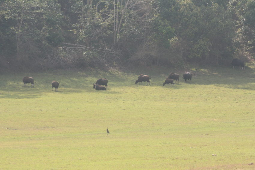 We saw no elephants or tigers but plenty of bison.