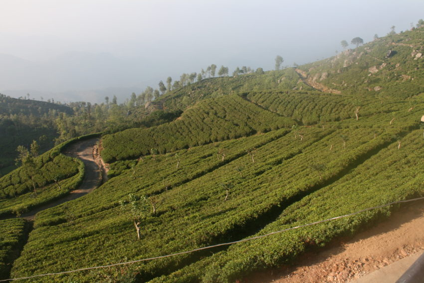 The view of tea plantations from my guesthouse.