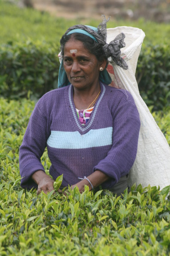 Tea picker purple