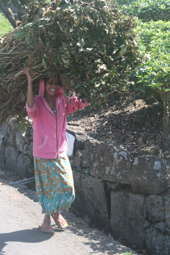Tea picker, sticks
