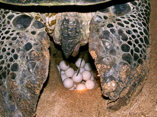 Green turtles lay up to 200 eggs at a time -- and do it at the same nexting spot seven times during their lives. Photos by Thushan Kapurusing.