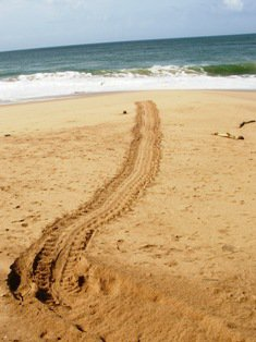 The mother turtles return to the sea immediately after laying the eggs.