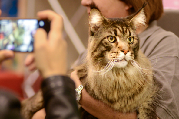 Titanic, a 20-pound Maine Coon who had won a world championship the week before. Photo by Marina Pascucci.