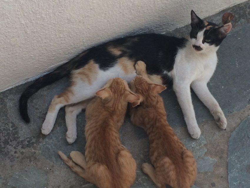 The cats of Skiathos.