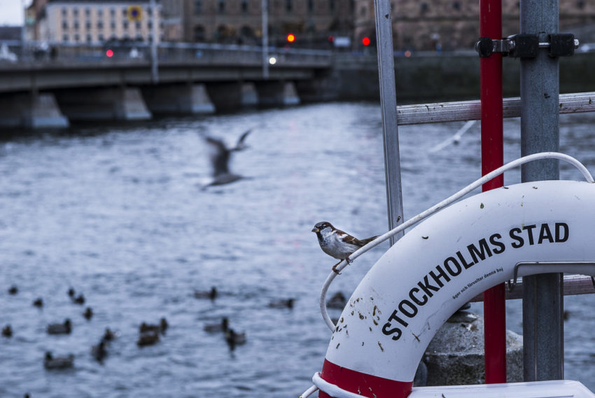 Everyone seems happy in Stockholm, even the birds. Photo by Marina Pascucci