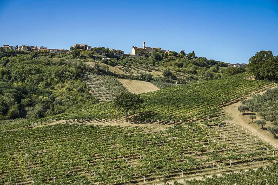 Terraviva's vineyards leading up to the clocktower in Tortoreto.