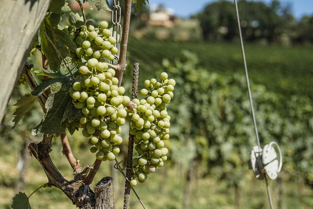Terraviva only uses its own indigenous grapes.